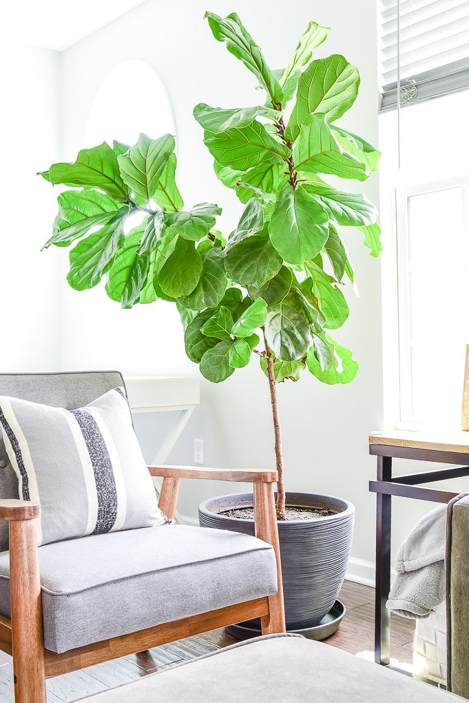 modern fiddle leaf fig tree