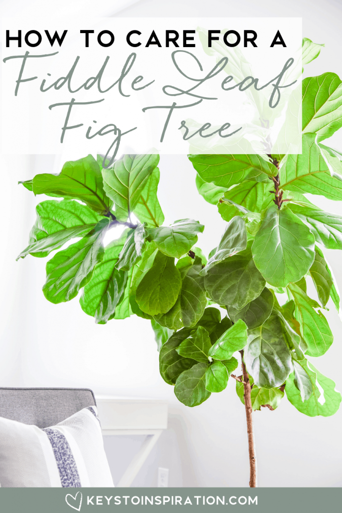 how to care for a fiddle leaf fig tree best tips