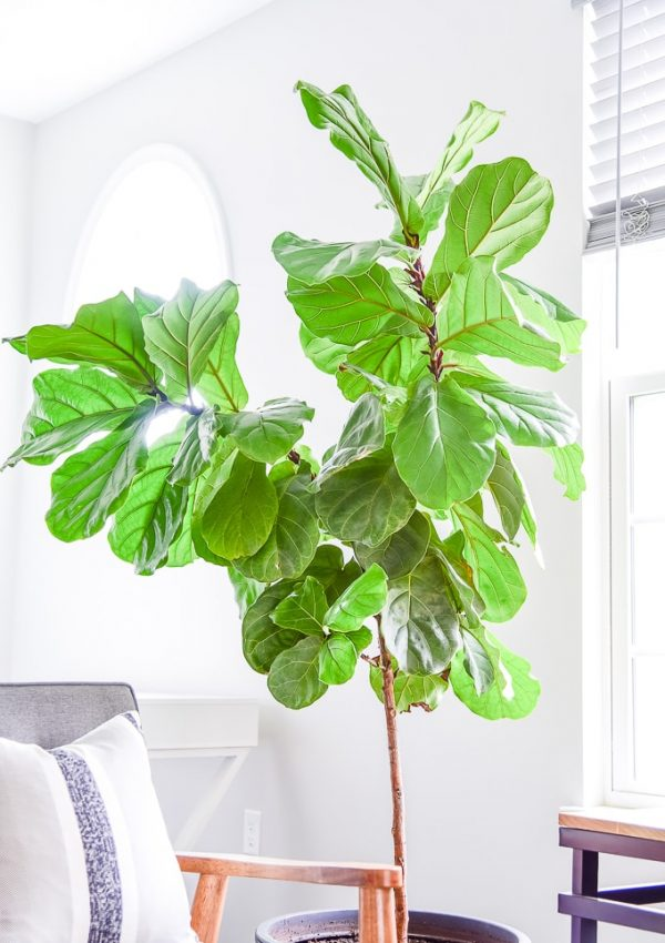 How to Care for a Fiddle Leaf Fig Tree