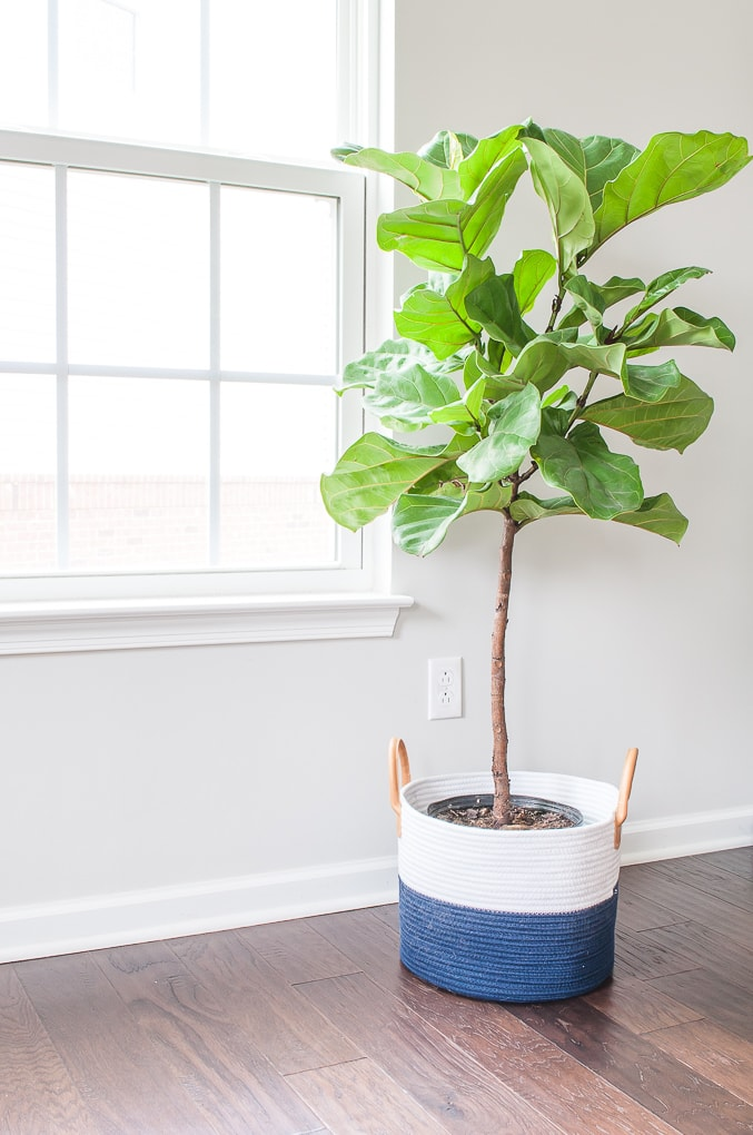 small fiddle leaf fig tree new in blue planter basket