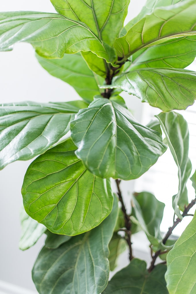fiddle leaf fig tree leaves close up view